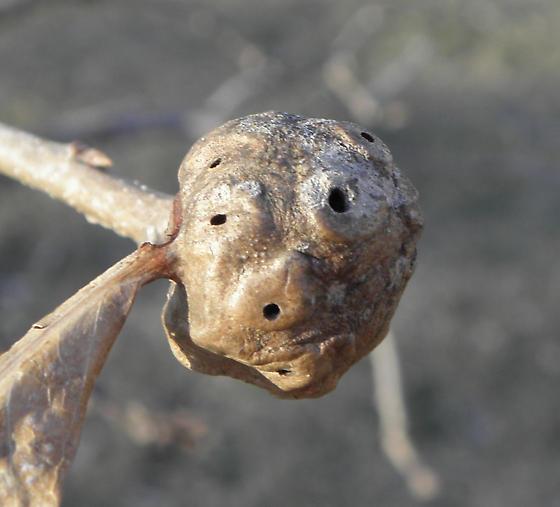 bur oak gall - Andricus quercuspetiolicola