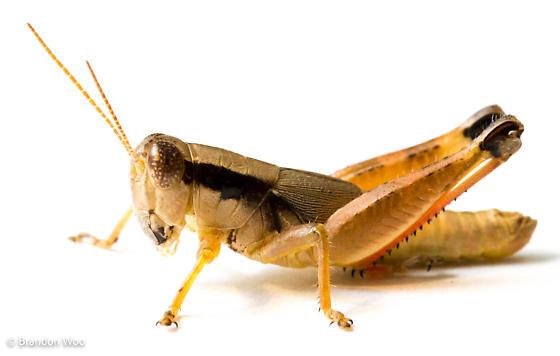 Melanoplus texensis - male