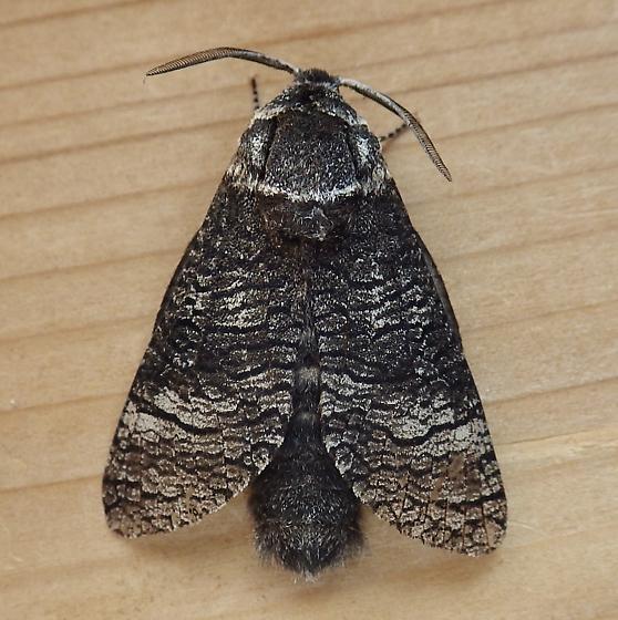 Cossidae: Acossus centerensis - Acossus centerensis