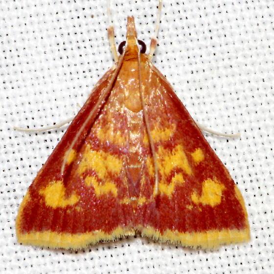 Mint-loving Pyrausta Moth - Pyrausta acrionalis
