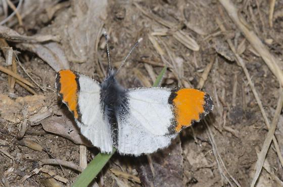Southwestern Orangetip - Anthocharis thoosa - male