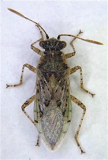 Rhopalinae - Brachycarenus tigrinus