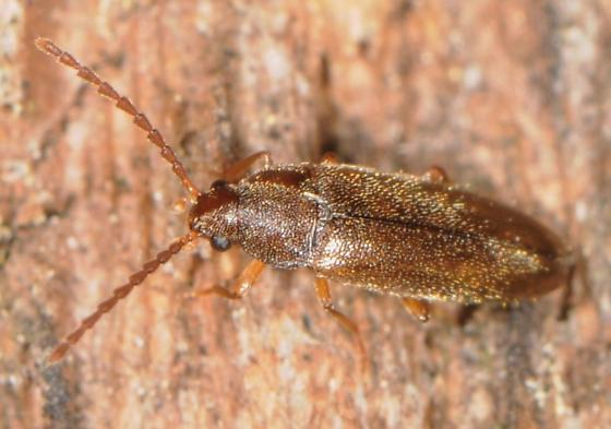 False Darkling Beetle? - Scotochroides antennatus