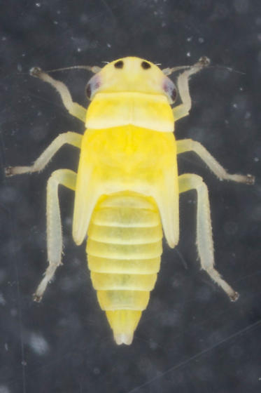 Possible N. veracruzensis - Neozygina veracruzensis