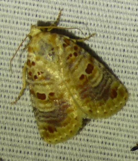 unknown moth - Diastema tigris