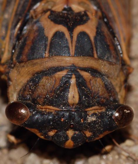 Cicada - Neotibicen canicularis