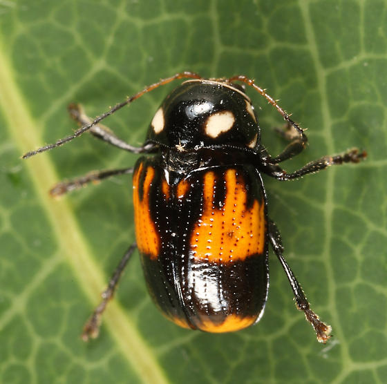 Case-bearing Leaf Beetle - Bassareus mammifer