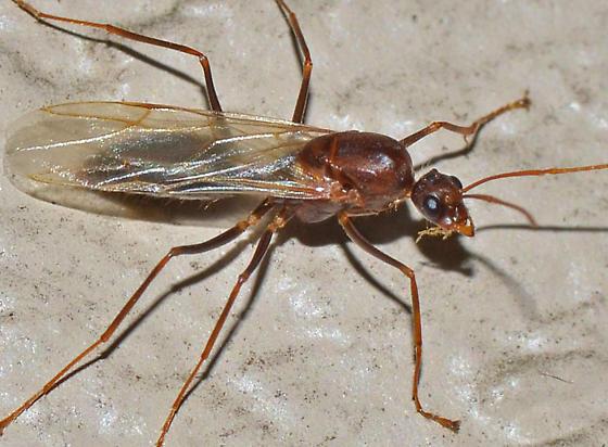? - Camponotus floridanus - male