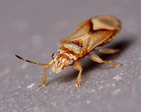 Tiny redish-brown heteroptera with strange facial features - Thaumastocoris peregrinus