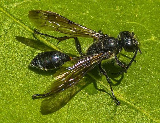wasp - Isodontia mexicana