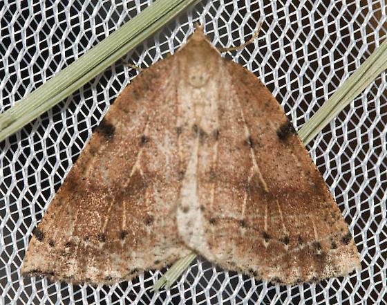 Moth - Thallophaga hyperborea