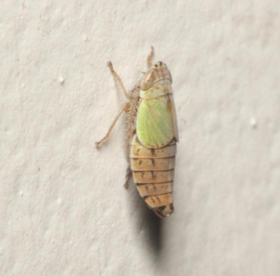 Cicadellidae, lateral - Doratura stylata