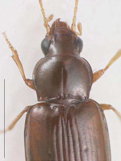 Elaphropus (Barytachys) tripunctatus - Elaphropus tripunctatus - female