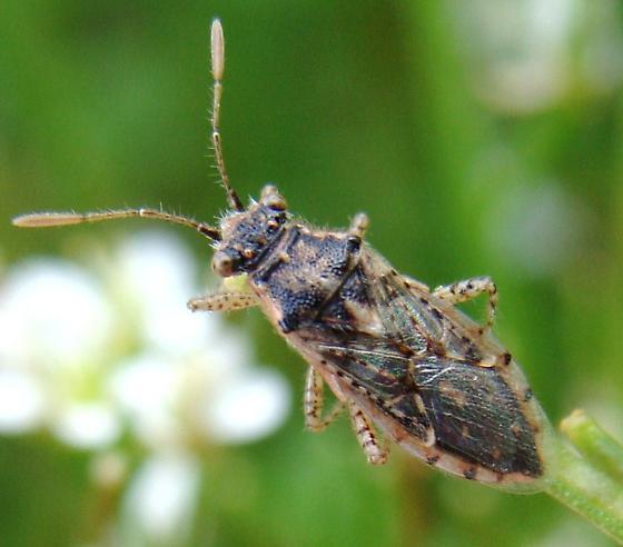 Arhyssus - Brachycarenus tigrinus