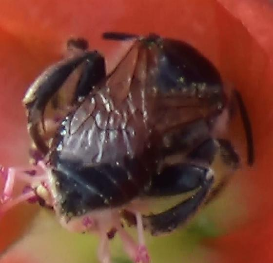 Small Chimney Bee - Globe Mallow Bee - Diadasia diminuta - male