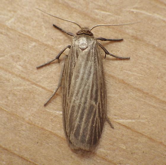 Erebidae: Crambidia pallida - Crambidia pallida