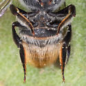 Leafcutter Bee from Tex/Mex border - Megachile chichimeca - female