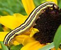 Striped CAT on Rudbeckia - Trichordestra legitima