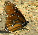 Queen Butterfly - Danaus gilippus - male