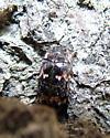 Dermestid Beetle - Megatoma variegata