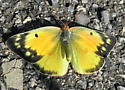 Orange Sulfur - Colias eurytheme - female