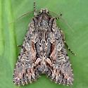 Garden Cutworm Moth - Fishia discors
