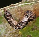 Drepana bilineata caterpillar - Drepana bilineata