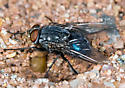 Another Metallic Blue Fly - Calliphora vicina