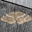 Rheumaptera  - Rheumaptera prunivorata - female