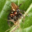 Salticidae - Colonus sylvanus