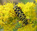 Longhorn beetle (?) on goldenrod - Megacyllene robiniae