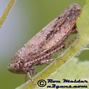 Leafhopper - Phlepsanus - female