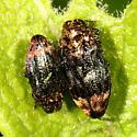 borer beetles - Brachys aerosus - male - female
