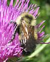 A bee - Bombus citrinus