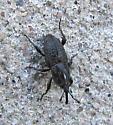 Weevil - Sphenophorus