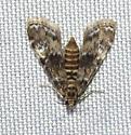 Waterlilyi Leafcutter - Elophila obliteralis