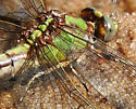 Sioux Snaketail? - Ophiogomphus