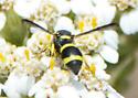 Wasp on Buckwheat  - Parancistrocerus declivatus