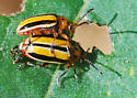Three-lined potato beetle mating pair - Lema daturaphila - male - female