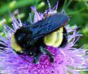 Bumble bee ID - Bombus pensylvanicus