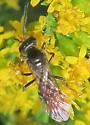 Halictus #2 - Lasioglossum