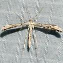 Ragweed Plume Moth - Adaina ambrosiae - male