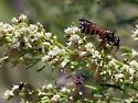 Unk. wasp & friends - Myzinum quinquecinctum - female
