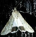 Moth - Melipotis acontioides