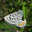 Rita Dotted Blue - Euphilotes rita