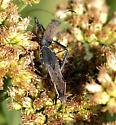 Alydus pilosulus - male - female