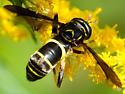 Spilomyia sayi - female