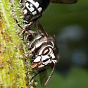 Unknown Wasp - Dolichovespula maculata
