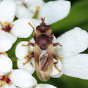 Conopid - Myopa vesiculosa - male