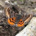 Dasyfidonia avuncularia - Hodges #6426 - Dasyfidonia avuncularia